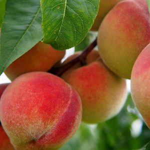 Seven Fruit Tree Planting Tips