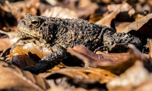Garden Toads: One of the Best Organic Pest Control Agents
