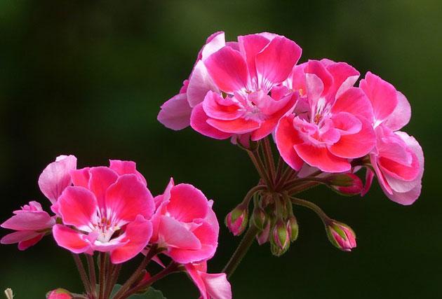 geranium perennials
