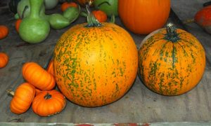 How to Grow Healthy Organic Pumpkins