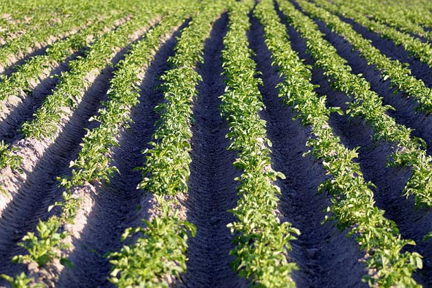 hilled rows of potatoes