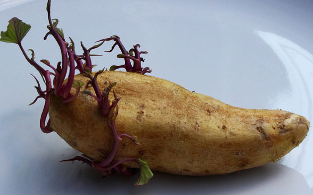 potato with roots