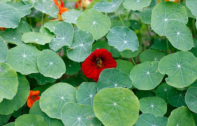 nasturtium grown by permaculture