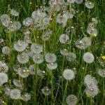 DIY Organic Weed Killers