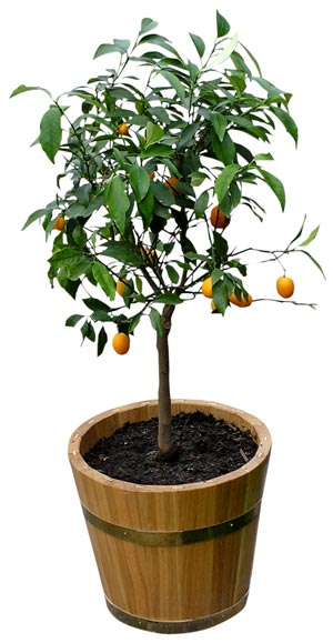 orange tree in pot