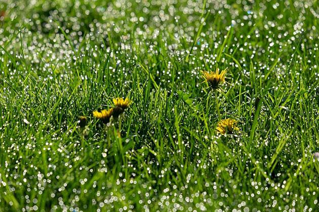 dandelion weed flowers