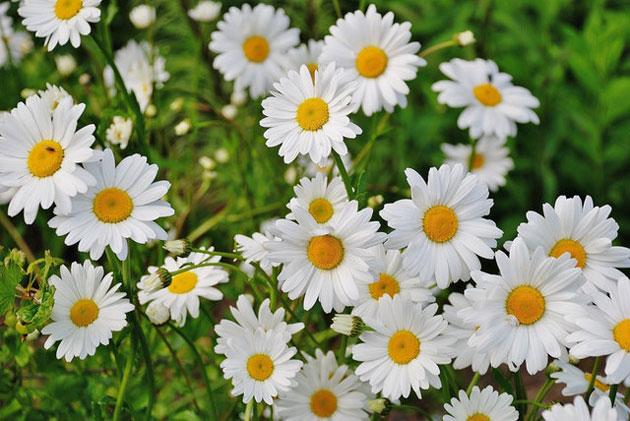 daisy snow lady variety