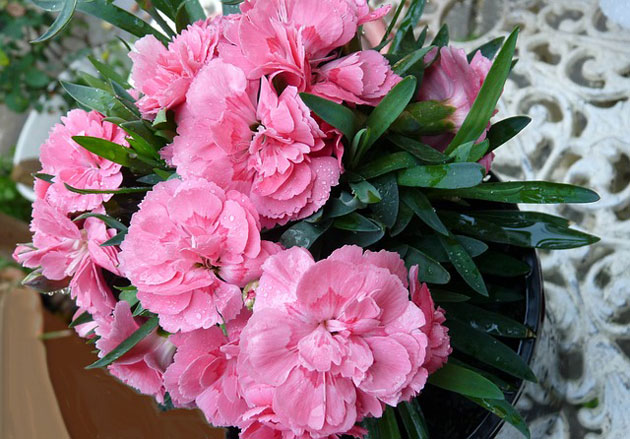 pink potted carnation indoors