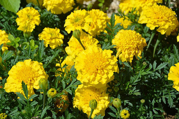 yellow carnation blooms