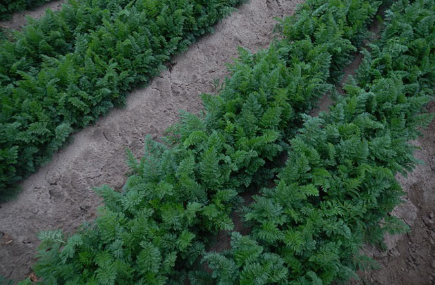 raised carrot rows