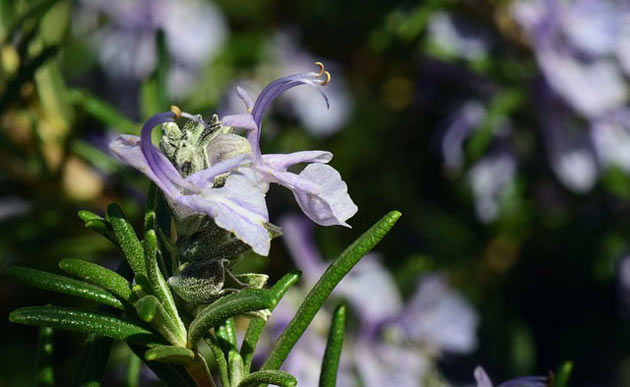 rosemary herb blossoms