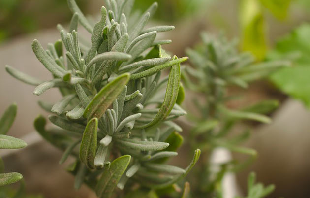 How to Grow Rosemary and Lemon Balm