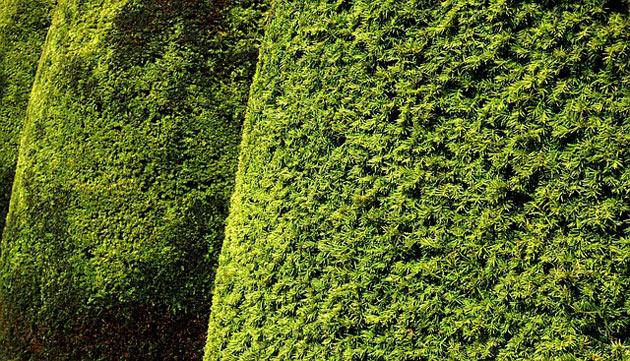 topiary yew hedge