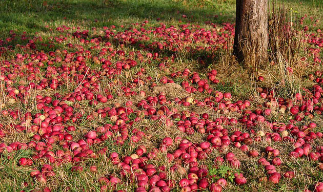 apple fruit harvest