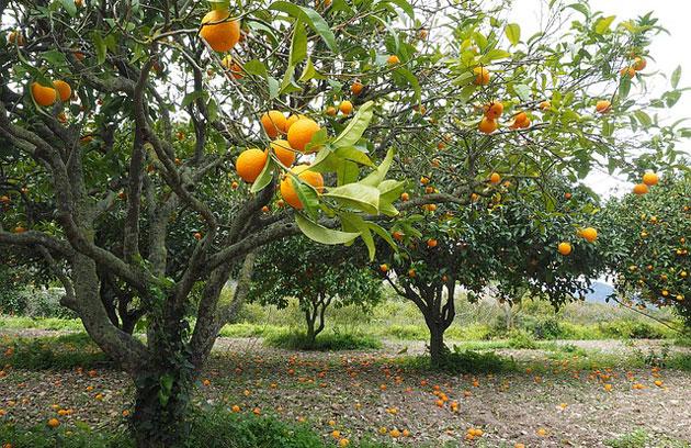 orange tree grove