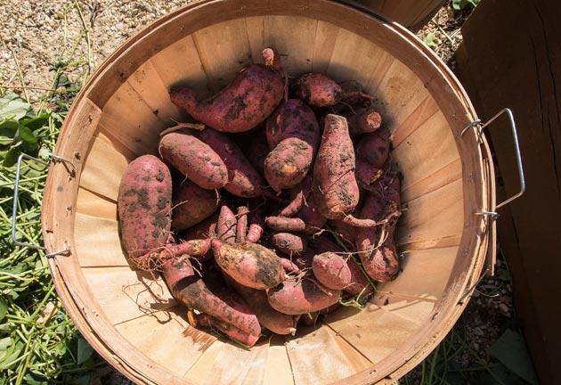 harvest of sweet potato