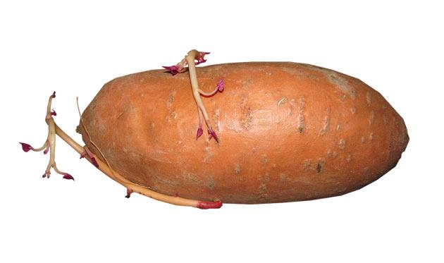 sweet potato with new slips