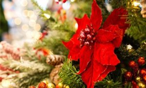 How to Grow Poinsettia
