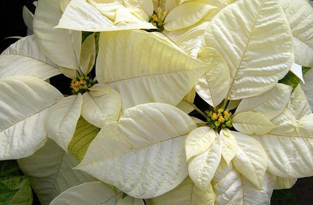 pointsettia snowy white