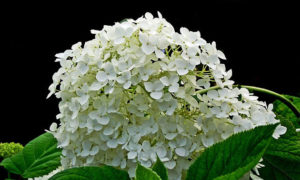 Growing Hydrangeas at Home