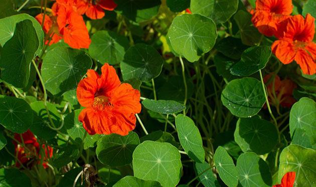 nasturtium blooms