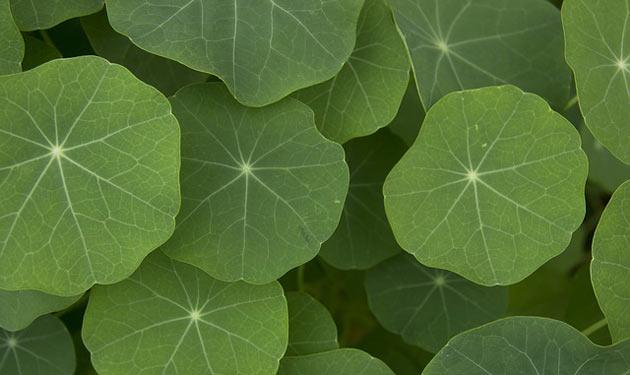 nasturtium leaves