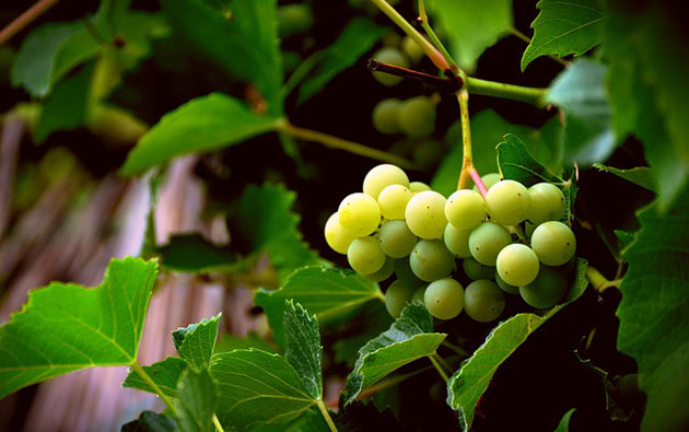 How to Grow Grapes at Home