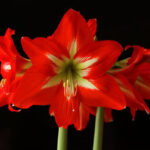 Growing Red Amaryllis for Christmas