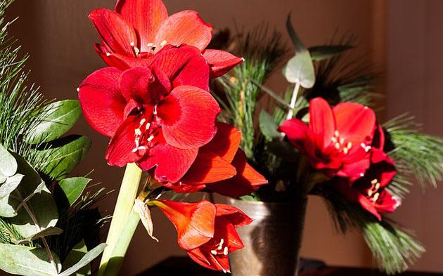amaryllis flowers as indoor christmas decor