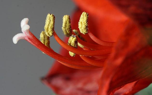 red amaryllis stamen