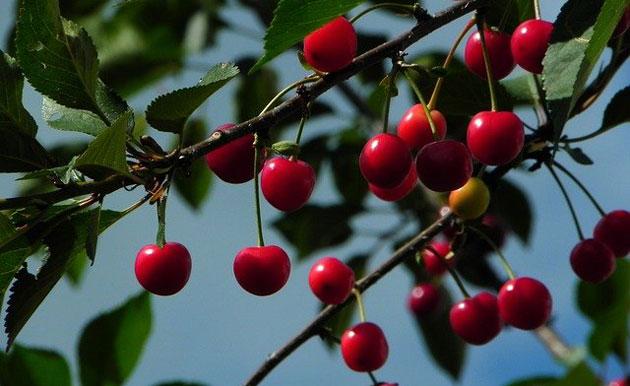 morello sour cherries