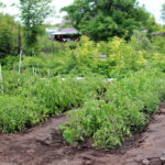 Growing an Organic Vegetable Garden All Year Round