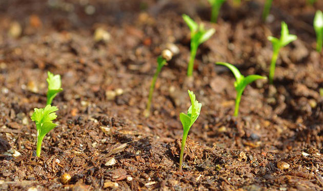 cilantro sprouts